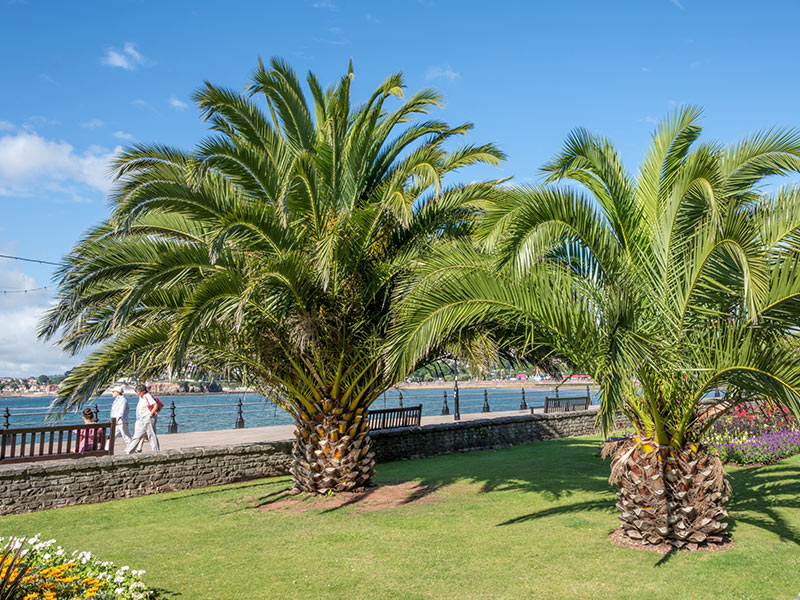 Torquay, Palm Trees